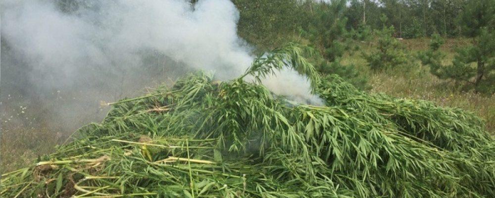 Калачеевские полицейские уничтожили более 1000 кустов дикорастущей конопли