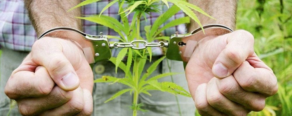 Калачеевские полицейские возбудили уголовное дело по факту незаконного культивирования растений конопли