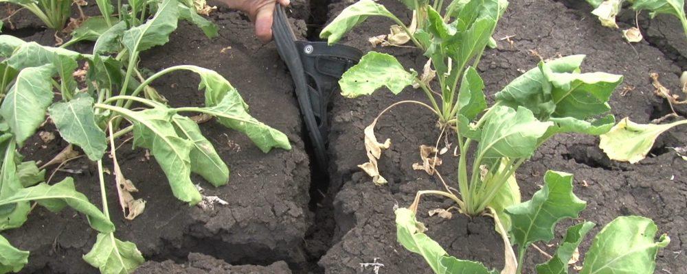 Село Манино Калачеевского района за два месяца без дождей накрыла сильнейшая засуха