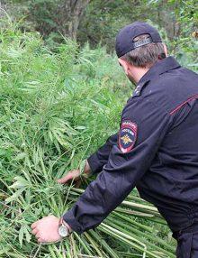 В Калачеевском районе полицейскими пресечено незаконное культивирование запрещенных растений